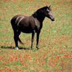 Ob pogledu na menorške konje se tudi nepoznavalcem zasvetijo oči. (foto: Fotografije Igor Fabjan)