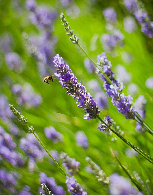 Sivka, ljubka dišavnica - Foto: Fotografija Shutterstock