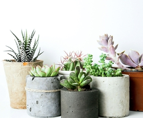 Kako pravilno skrbeti za sočnice in kaktuse?