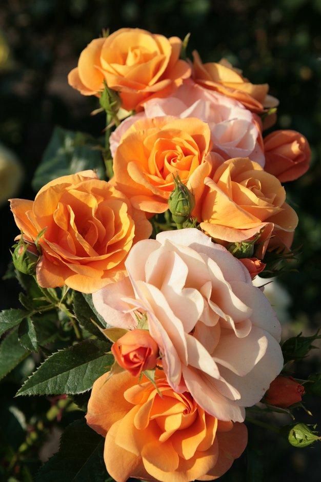 Ideja za izlet: Dnevi vrtnic in zdravih okusov (2. - 4. junij 2017) - Foto: Promocijsko gradivo