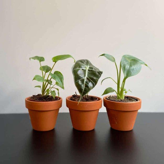 To so zelene in sobne rastline, ki najbolj pripomorejo k poživitvi, sprostitvi in vsesplošnemu boljšemu počutju - Foto: Sanjski šopek
